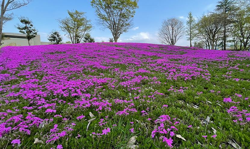 芝桜の丘。第70回チューリップフェア、網戸快適ネットからの景色。よく見える網戸快適ネット張り替えなら三恵ネット。