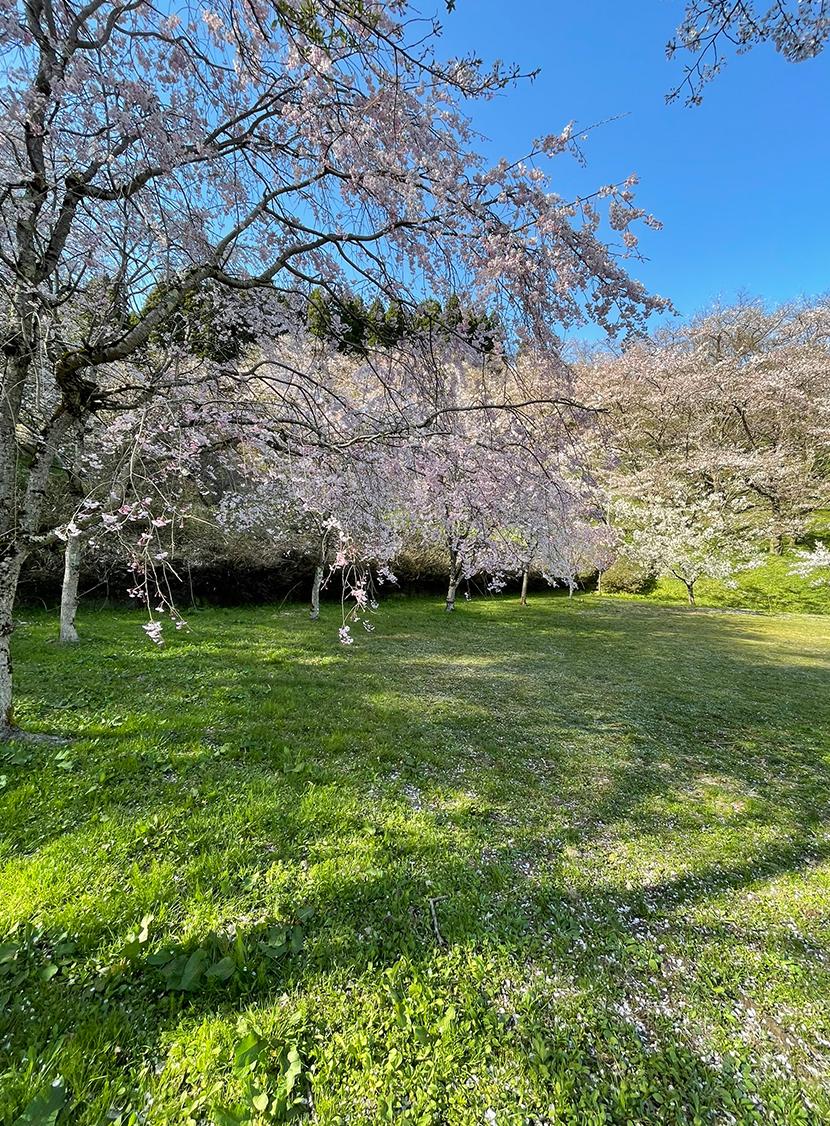 小矢部城山公園の桜、網戸快適ネットからの景色。よく見える網戸快適ネット張り替えなら三恵ネット。