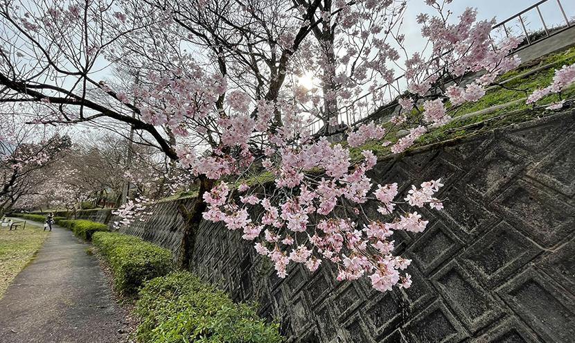 庄川水記念公園の桜、網戸快適ネットからの景色。よく見える網戸快適ネット張り替えなら三恵ネット。
